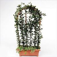 Ficus lingua triangel