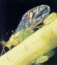 денежное дерево комнатное растение болезни с фото