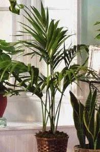 Семейство пальмовые