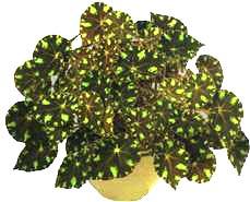 Бегоний рекc или королевских листья у