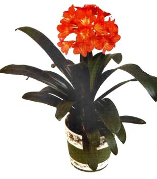 http://www.lapshin.org/club/plants/kliv.jpg