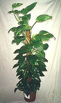 Scindapsus aureum epipremnum pinnatum