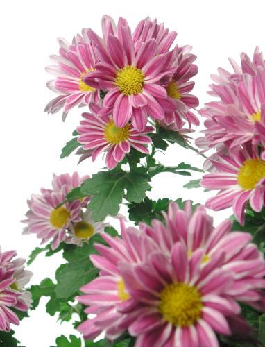 زهور الاقحوان وفوائدها