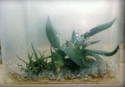 thesis on micropropagation of plants