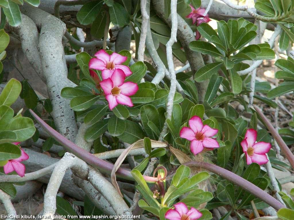 Интернетмагазин  Адениум дома от семян до растений