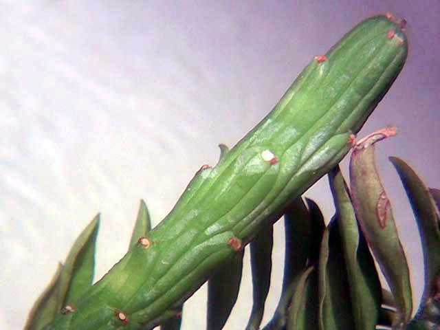 Вид сорт monadenium ellenbeckii